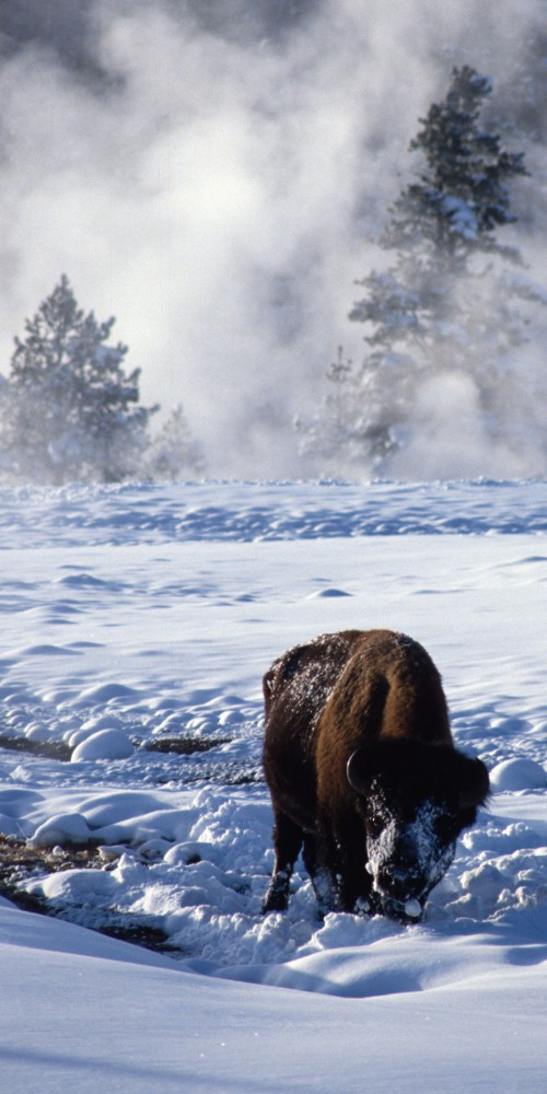 USA - Yellowstone - Buffalo