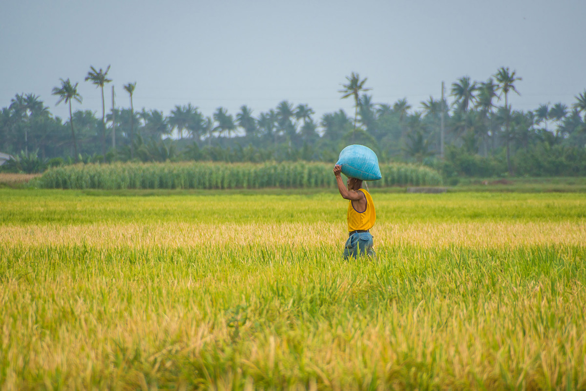 Philippines - Santa Ana - harvesting rice