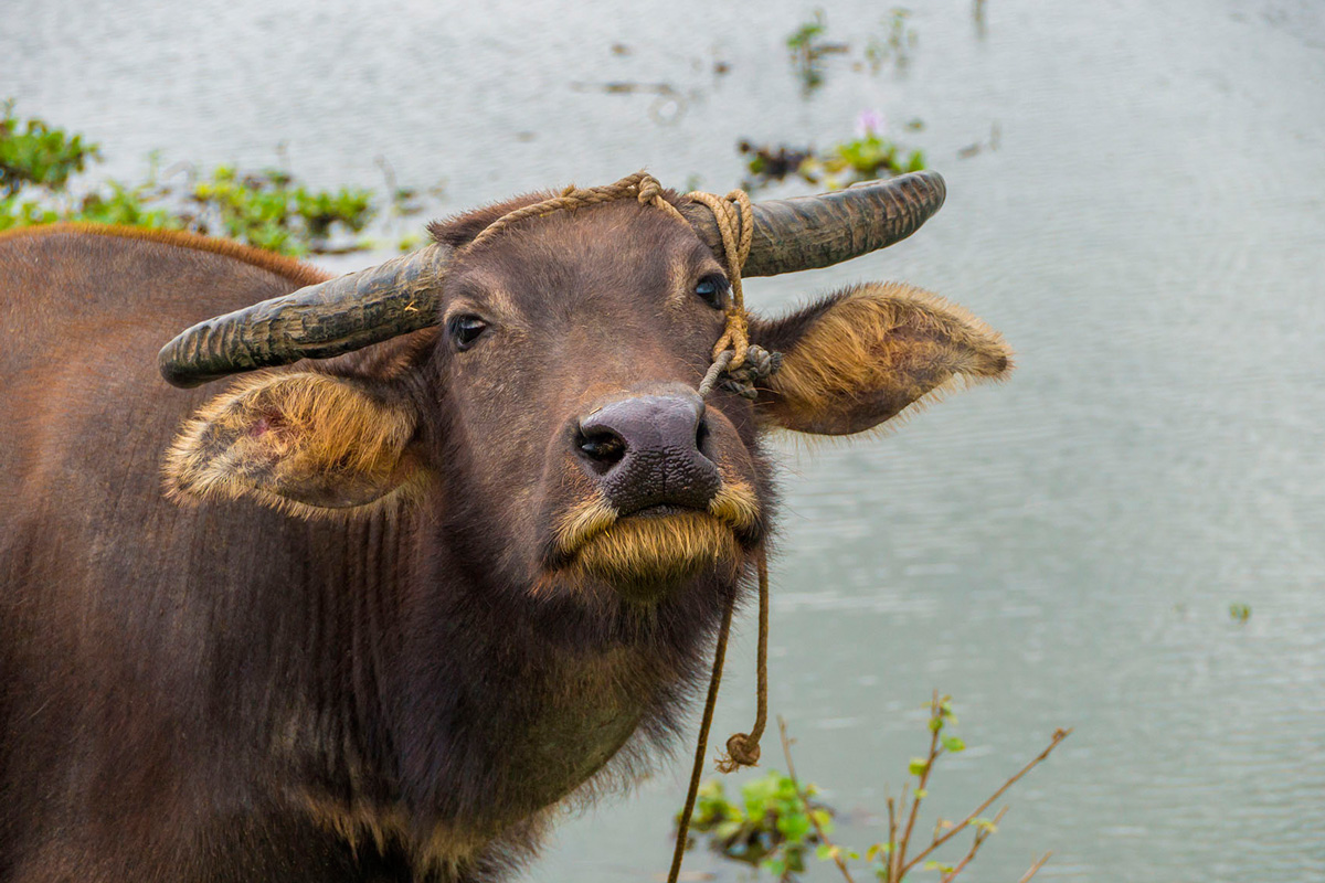 Philippines - Santa Ana - water buffalo