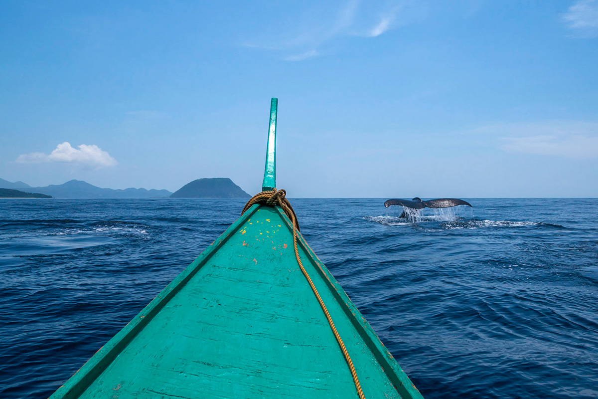 Philippines, humpback whale, Philippinen, Buckelwal