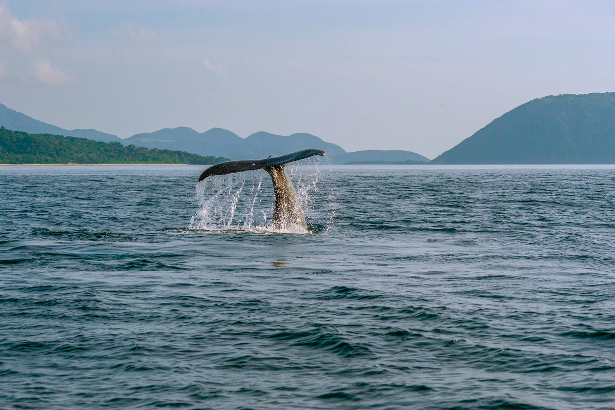 Philippines - Calayan, Cagayan islands - humpback whale