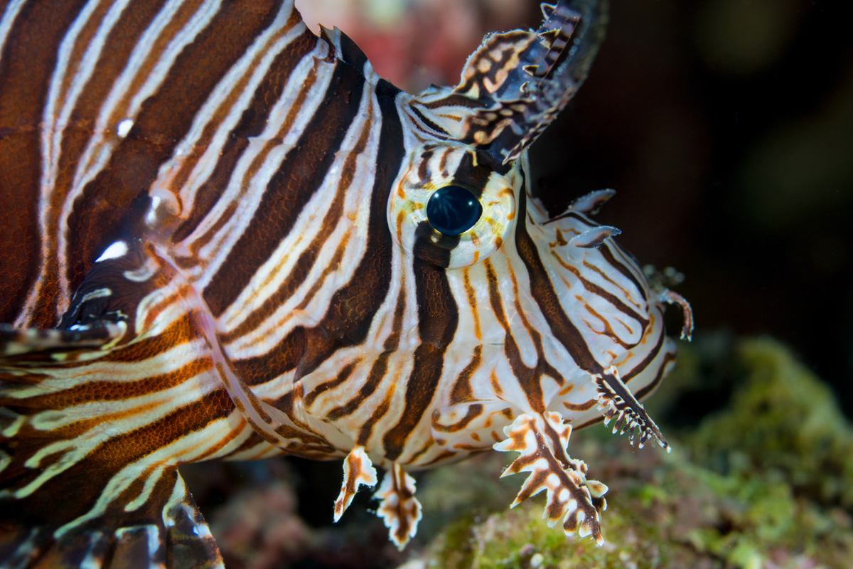 Moalboal, Cebu, Philippines - Lion fish