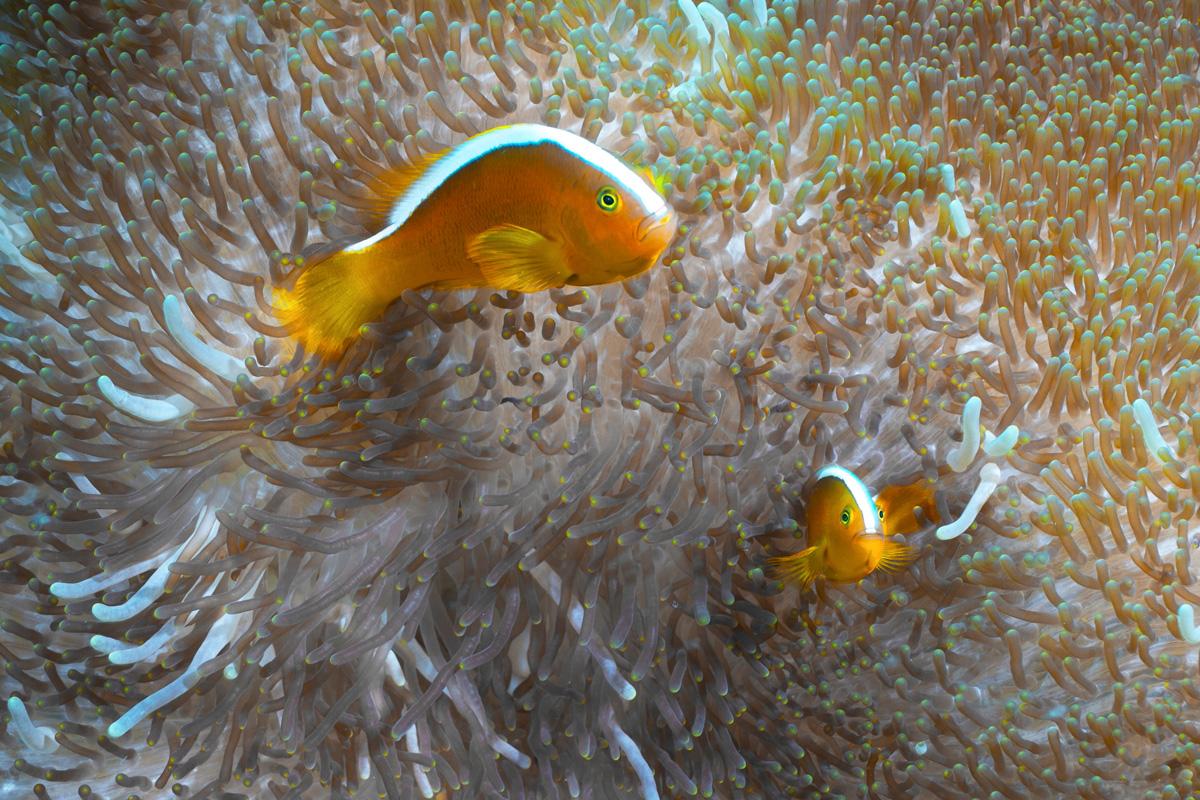 Moalboal, Cebu - Anemonen Fische