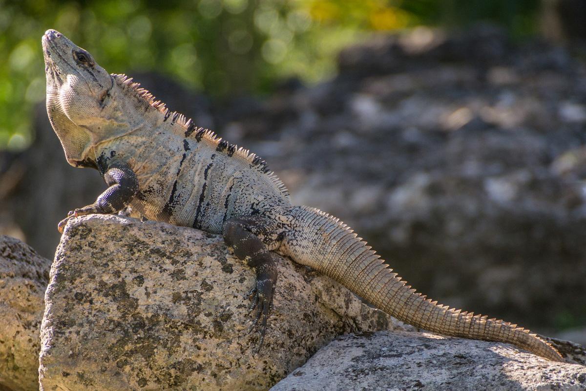 Mexico, Cozumel, Iguana