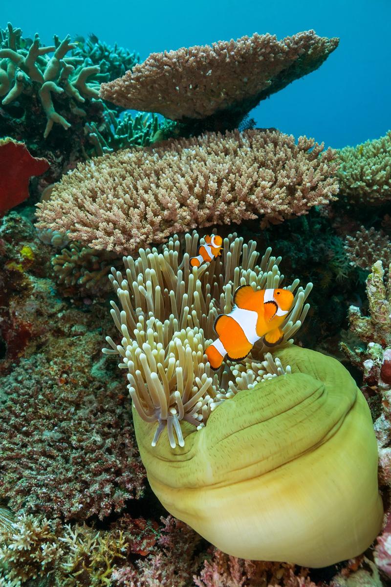 Moalboal, Cebu, Philippines - Anemone fish