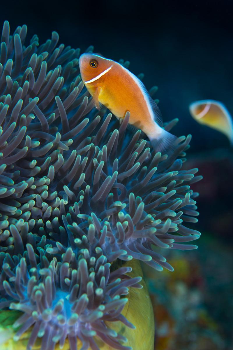 Moalboal, Cebu - Anemonen Fisch