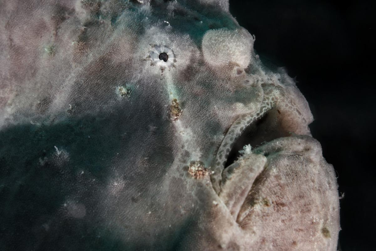 Moalboal, Cebu, Philippines - Frog fish