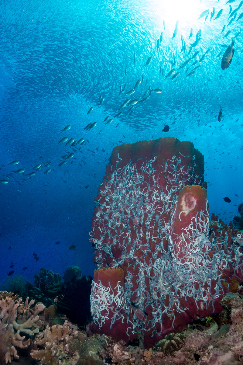 Moalboal, Cebu - Korallenriff mit Sardinen Schwarm