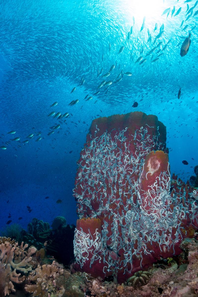 Moalboal, Cebu, Philippines - Coral with sardine swarm