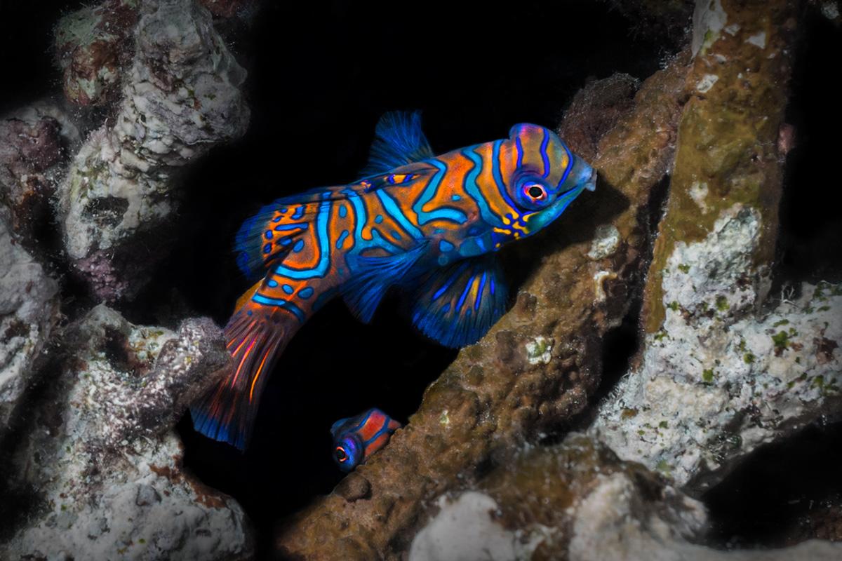 Moalboal, Cebu, Philippines - Mandarin Fish