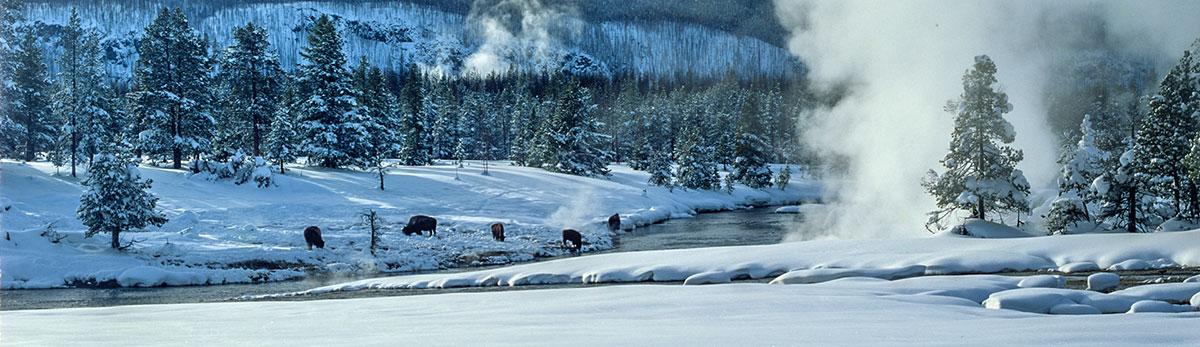 USA - Yellowstone - Buffalo