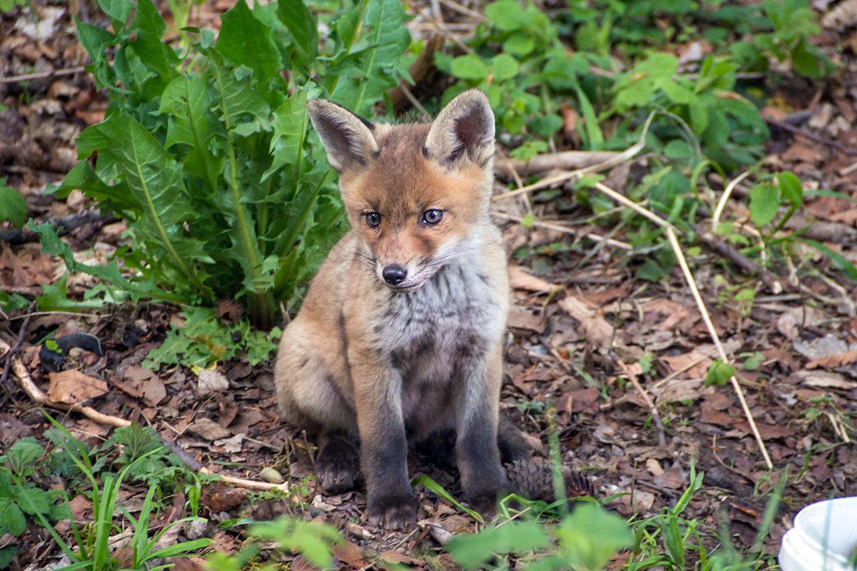 Harz, Fuchs Baby