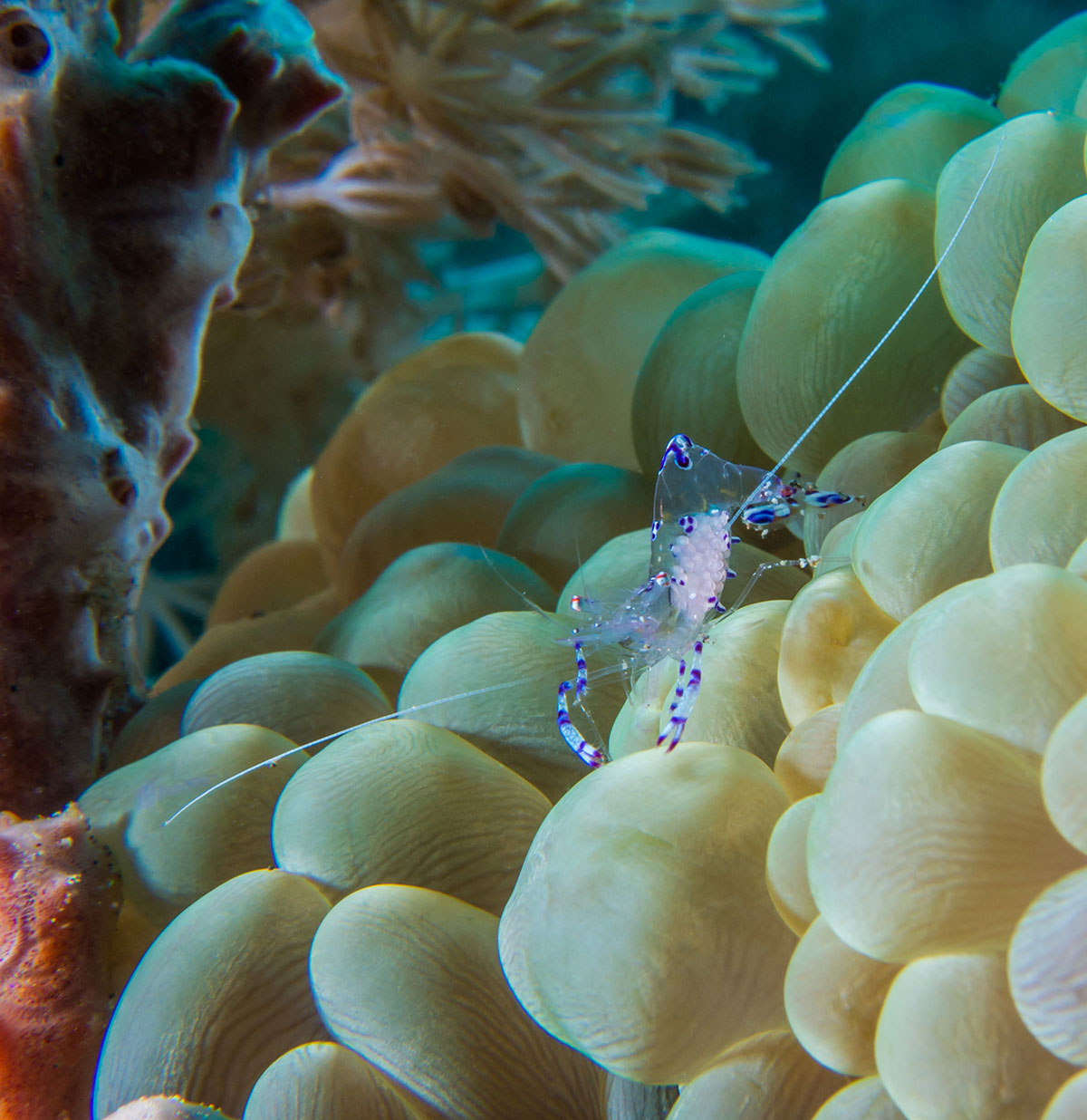 Indonesia, Manado, Bunaken Island, Diving, Anemone Shrimp with Eggs