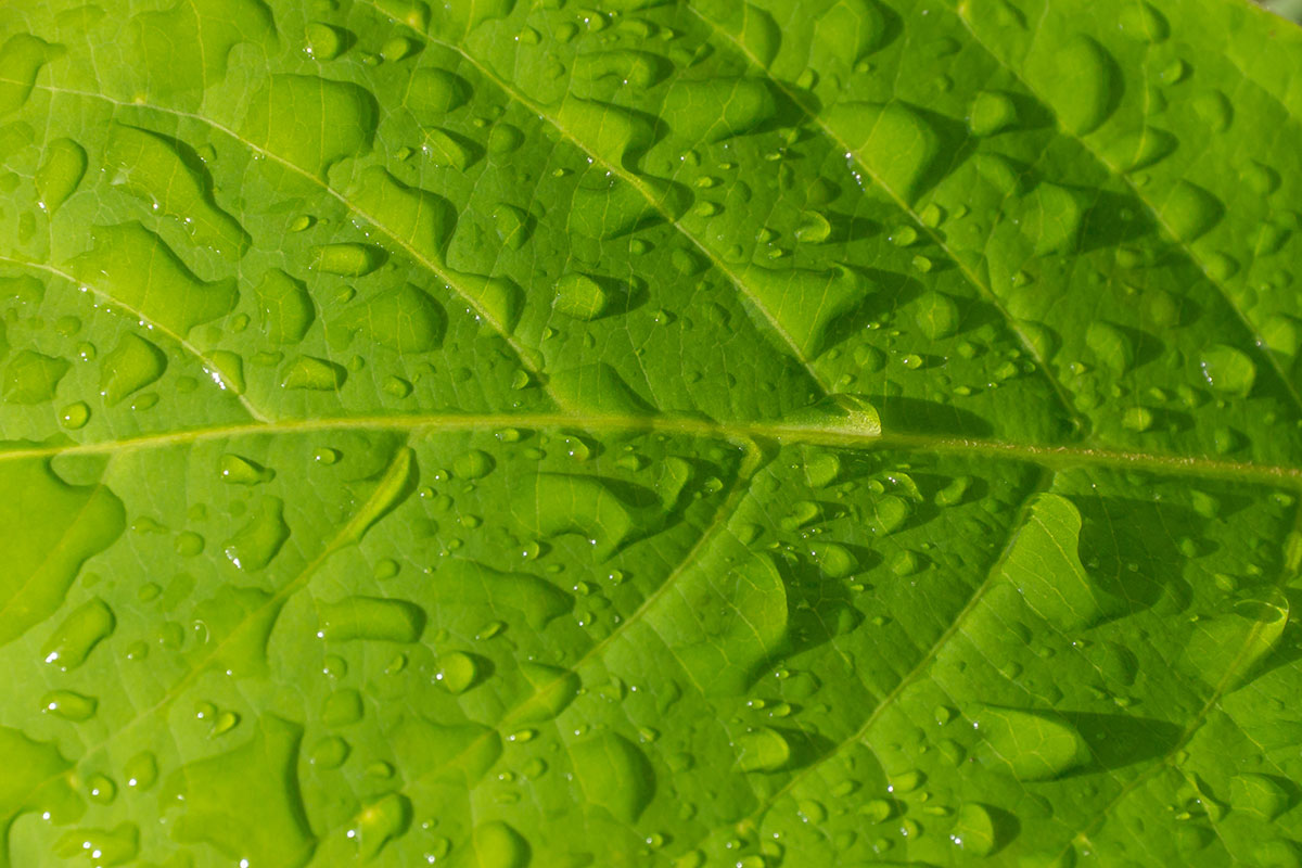 Indonesia, Manado, Bunaken Island, Leaf with Raindrops