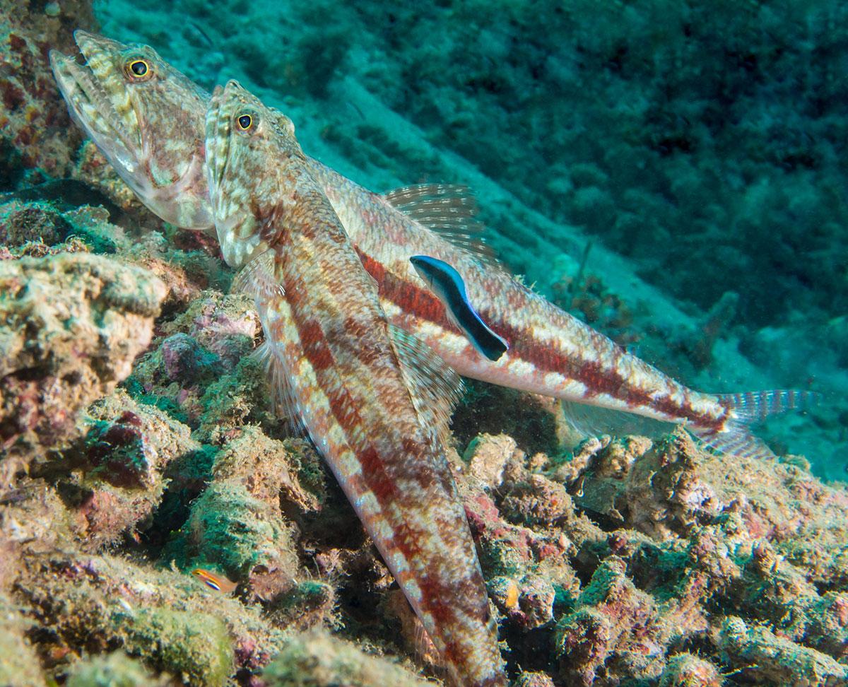 Indonesia, Manado, Bunaken Island, Cleaner Fish