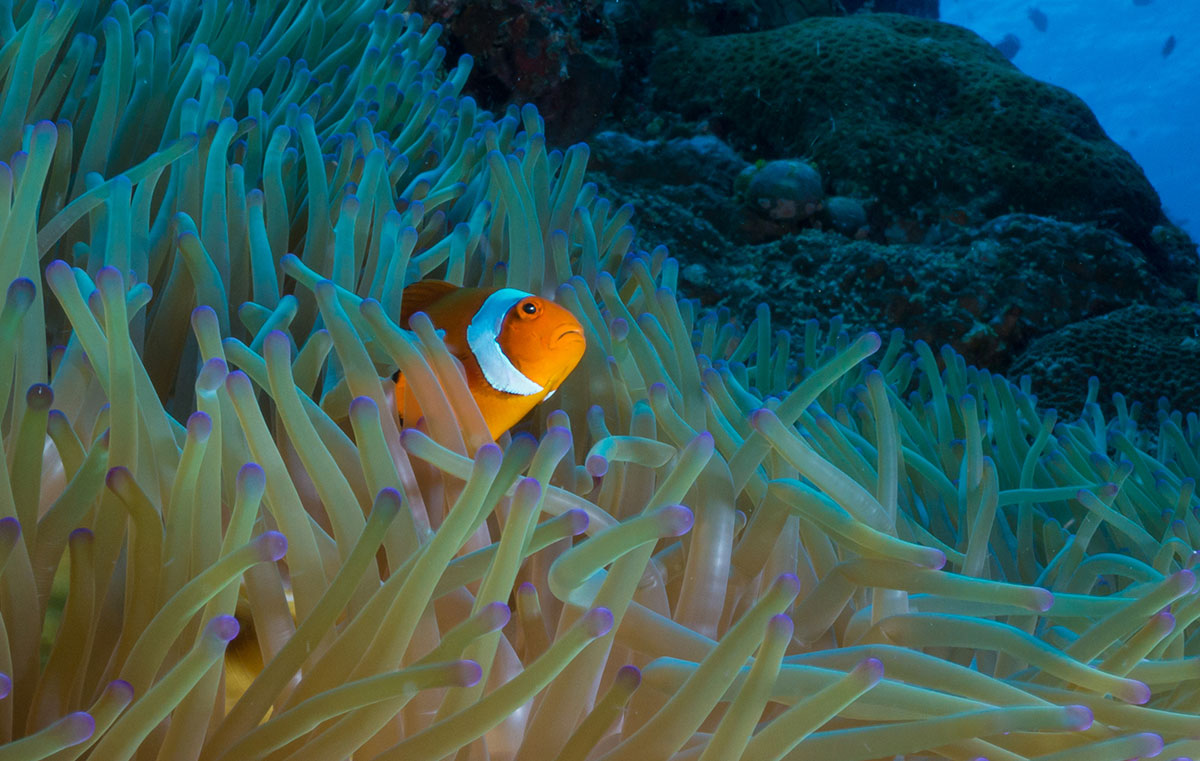 Indonesia, Manado, Bunaken Island, Anemone with Clown Fish, Nemo