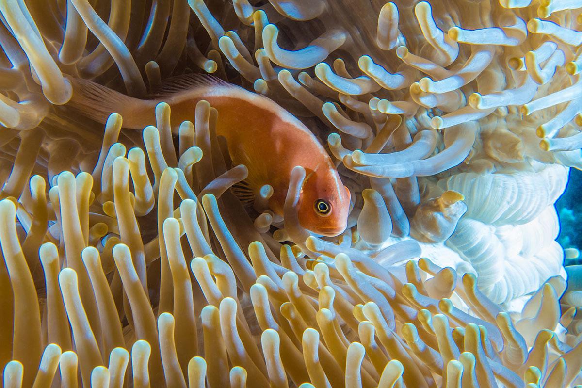 Indonesia, Manado, Bunaken Island, Anemone with Clown Fish, Nemo