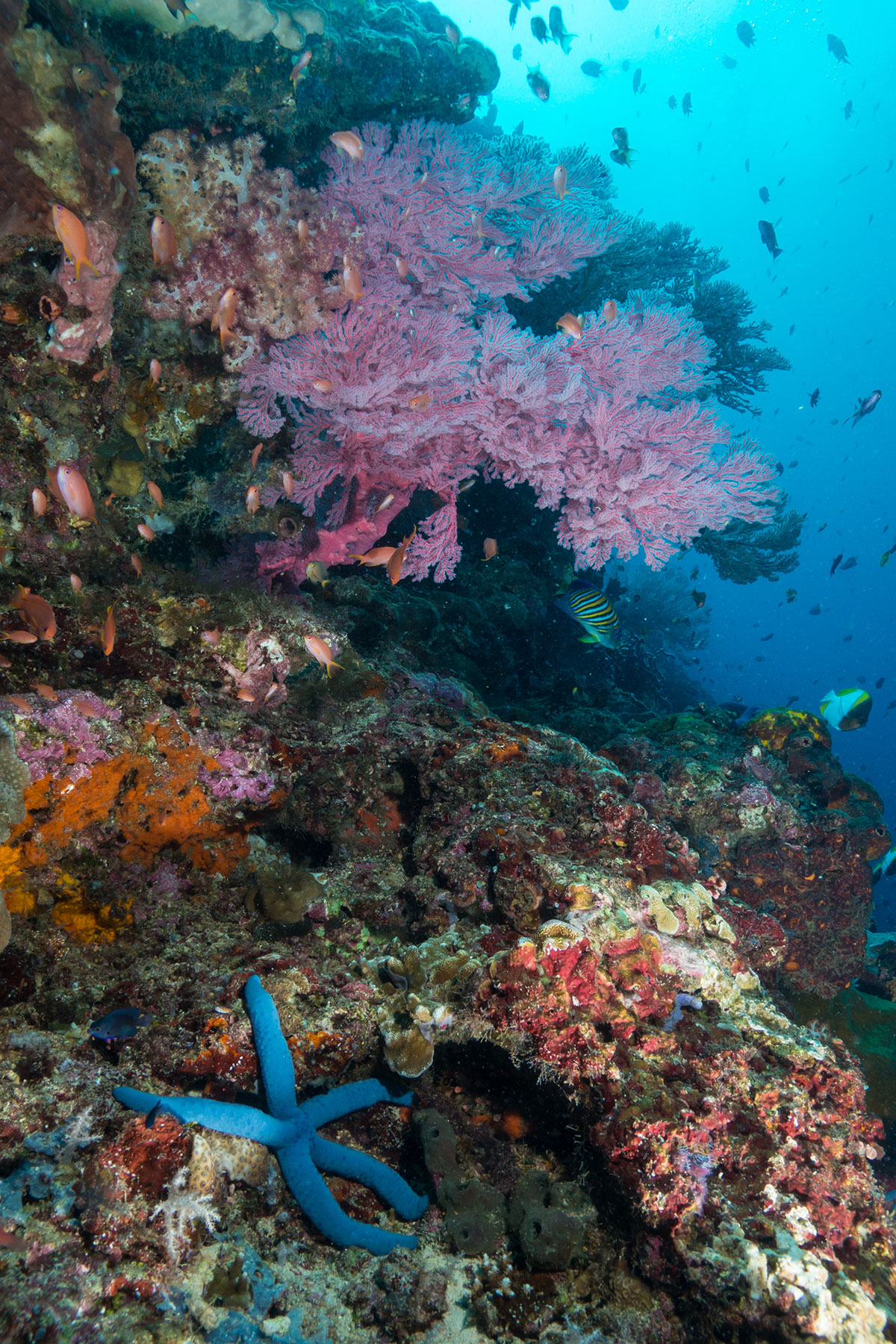 Indonesia, Manado, Bunaken Island, Coral Reef with Sea Star