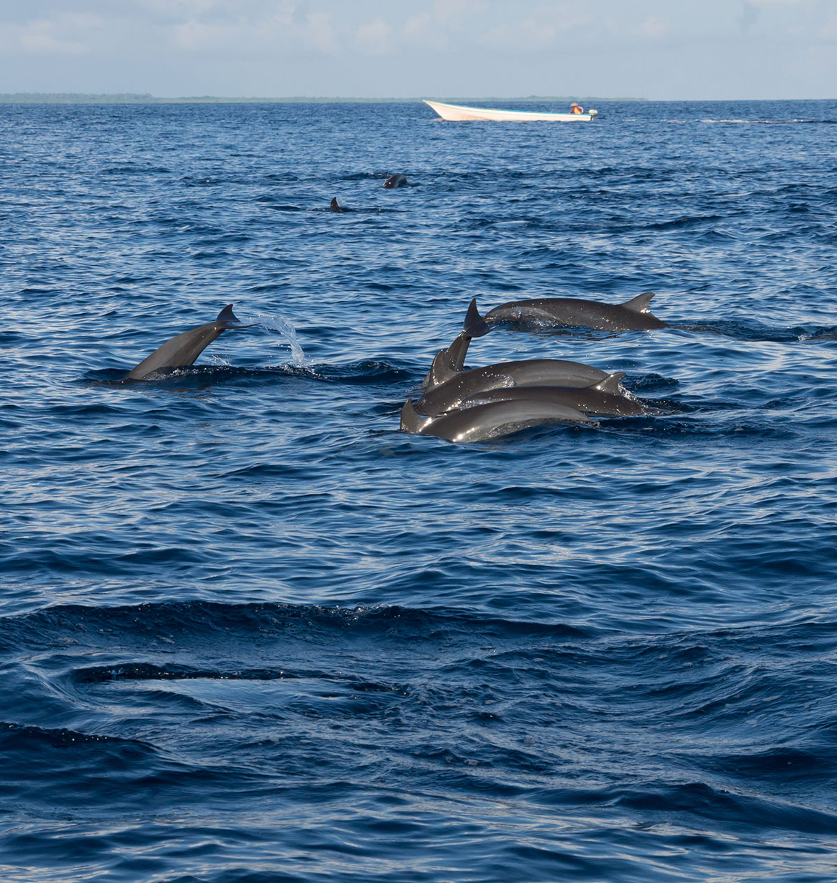 Indonesia, Manado, Bunaken Island, Dolphin watch Tour, Dolphin in front of Fisher Boat