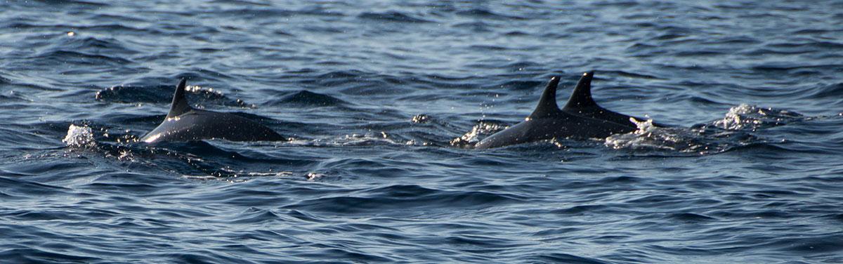 Indonesia, Manado, Bunaken Island, Dolphin watch Tour