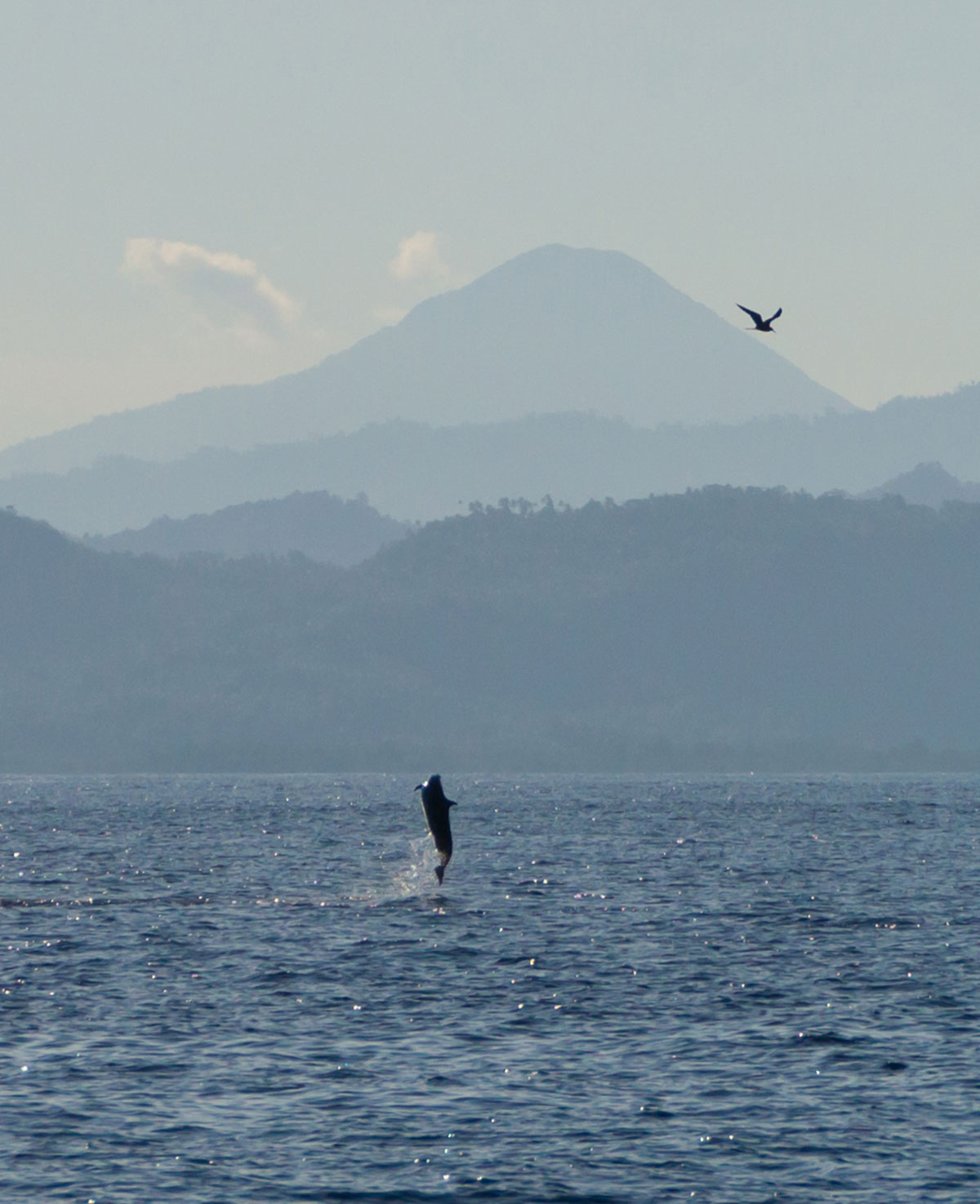 Indonesia, Manado, Bunaken Island, Dolphin watch Tour, Dolphin with Bird