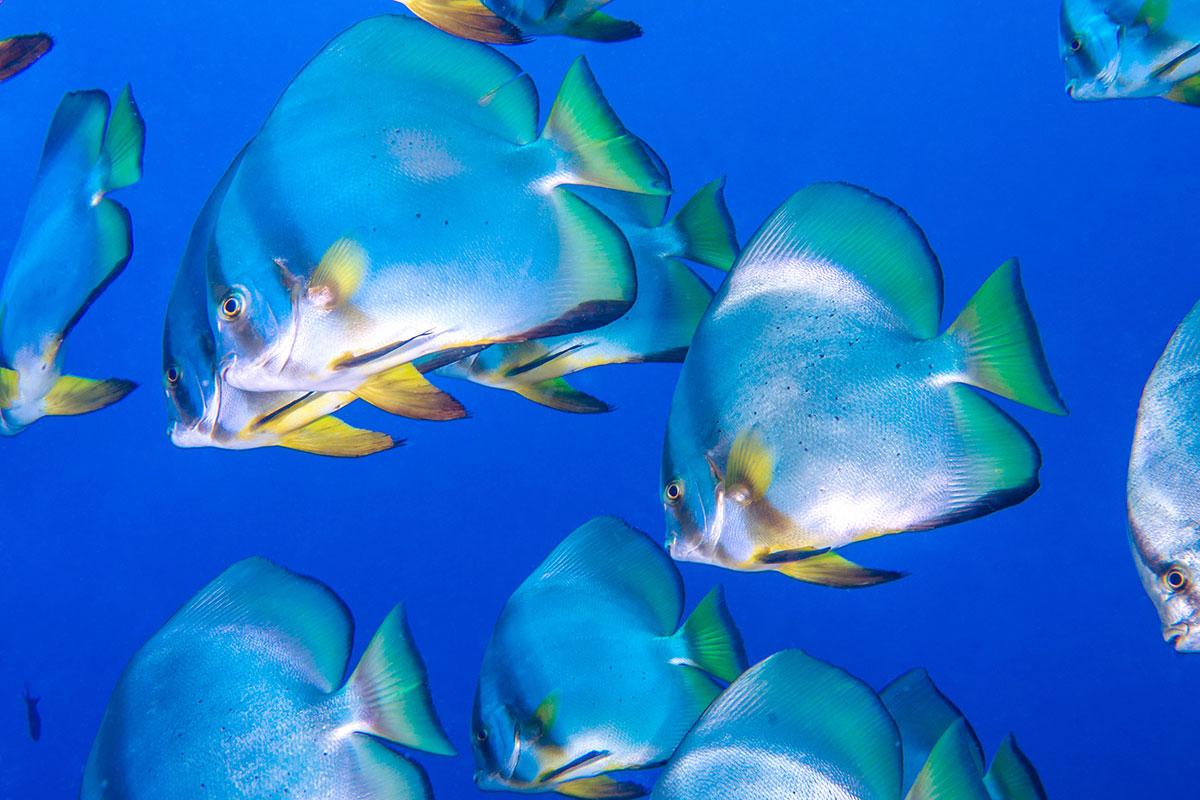 Indonesia, Manado, Bunaken Island, Diving, Discus Fish