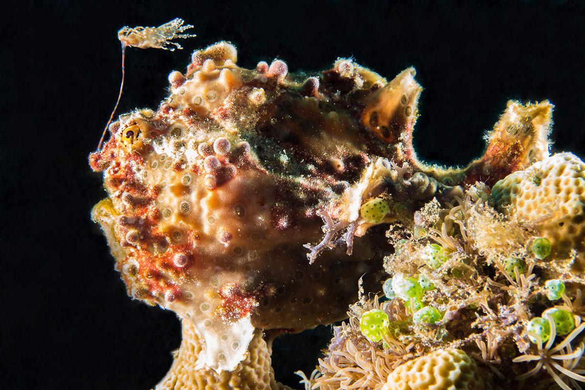 Indonesia, Manado, Bunaken Island, Diving, Frog Fish