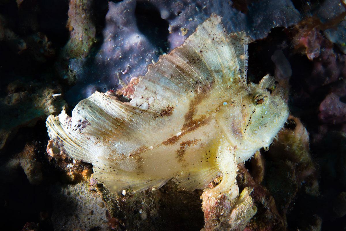 Indonesia, Manado, Bunaken Island, Diving, Leaf Fish