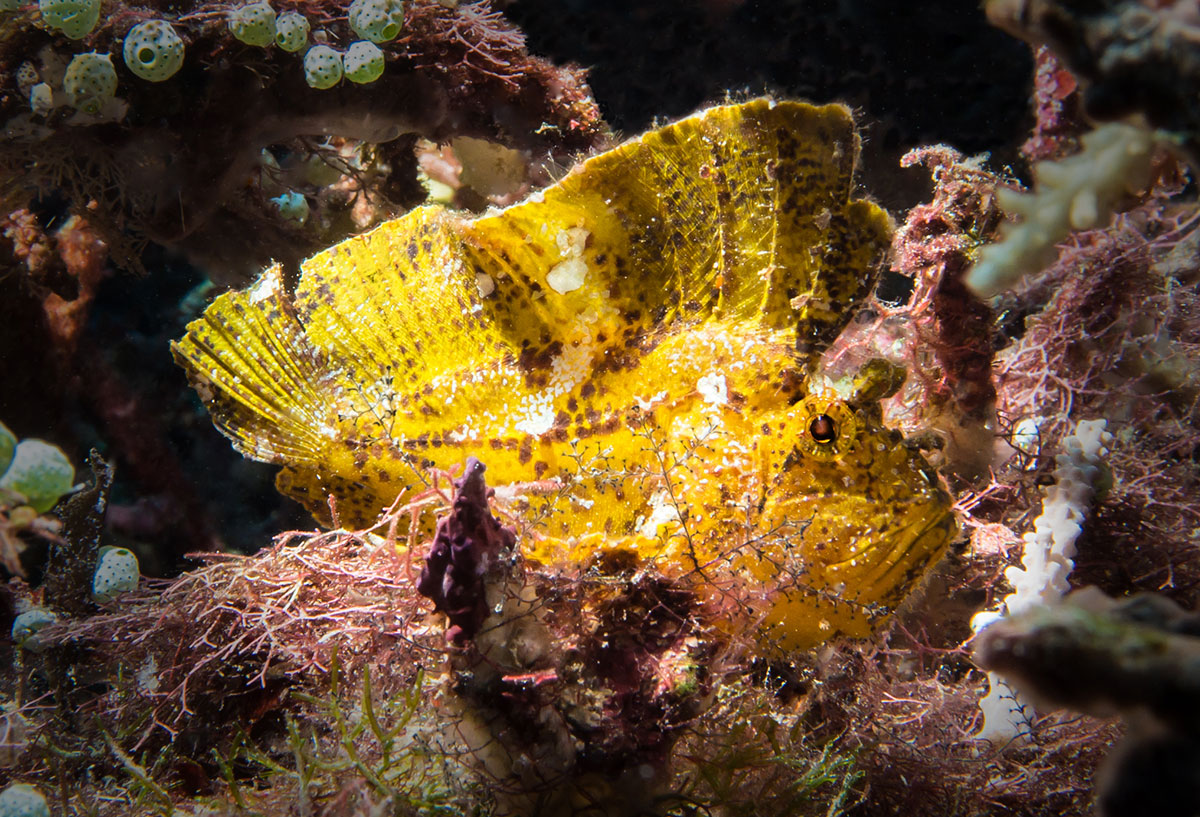 Indonesia, Manado, Bunaken Island, Diving, Leaf Fish