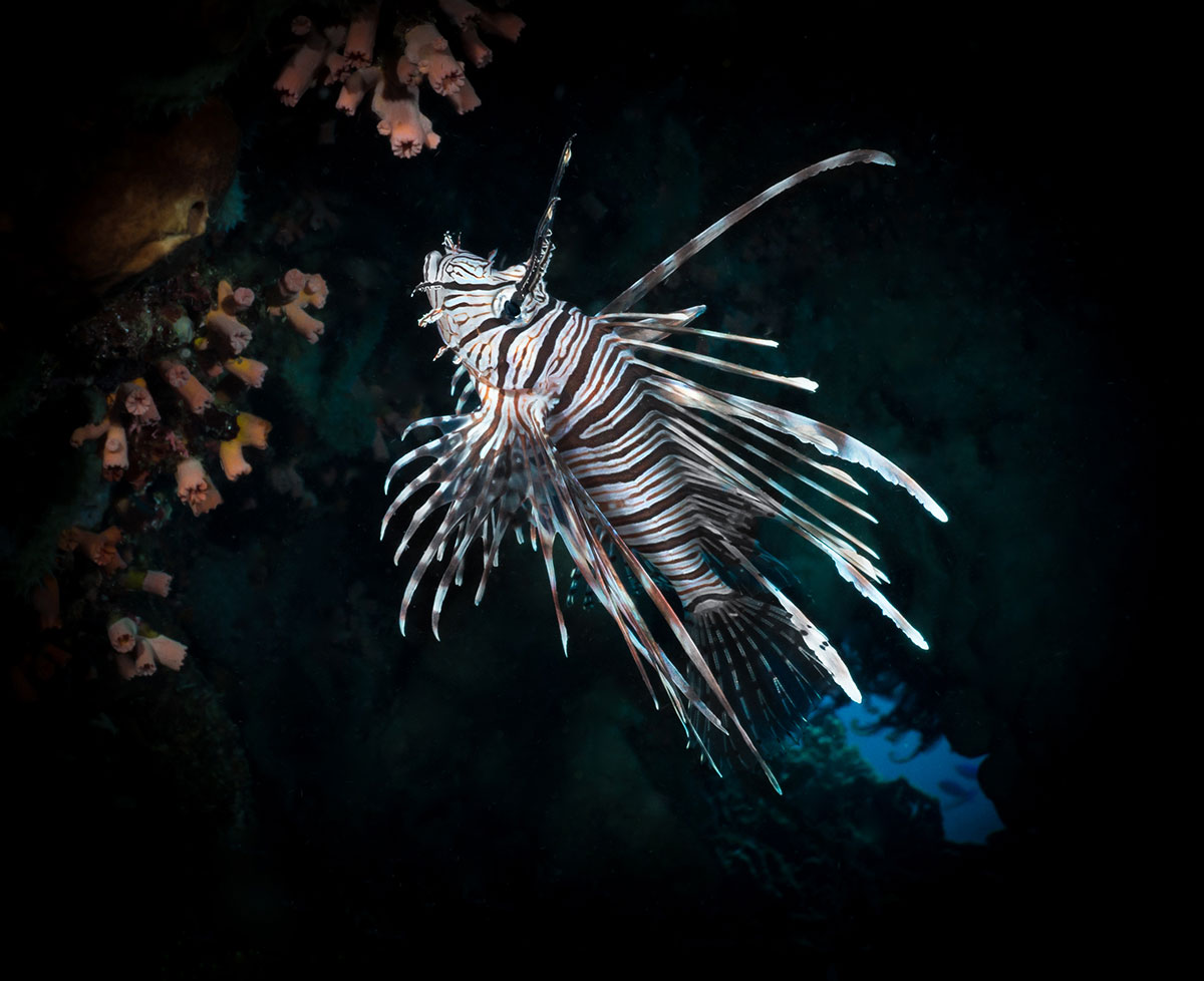 Indonesia, Manado, Bunaken Island, Diving, Lion Fish