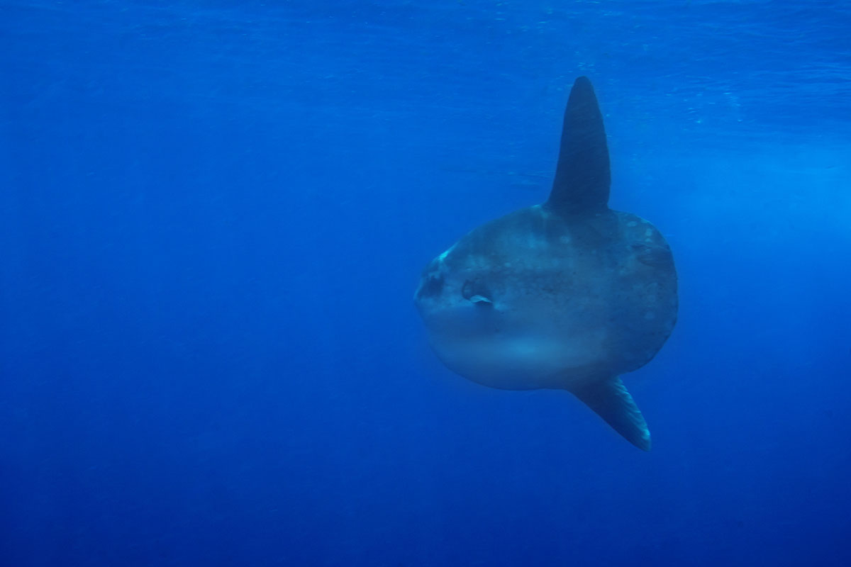 Indonesia, Manado, Bunaken Island, Diving, Mola-Mola, Sunfish, Moonfish