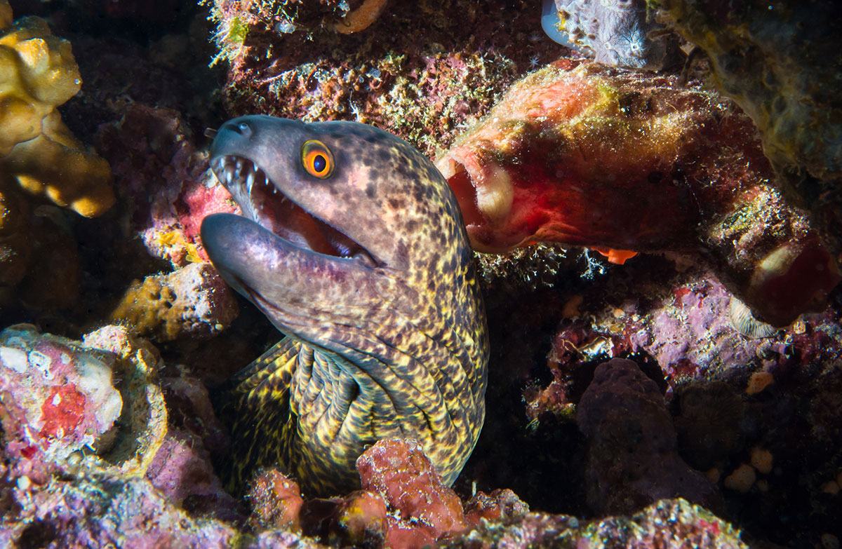 Indonesia, Manado, Bunaken Island, Diving, Murray Eel