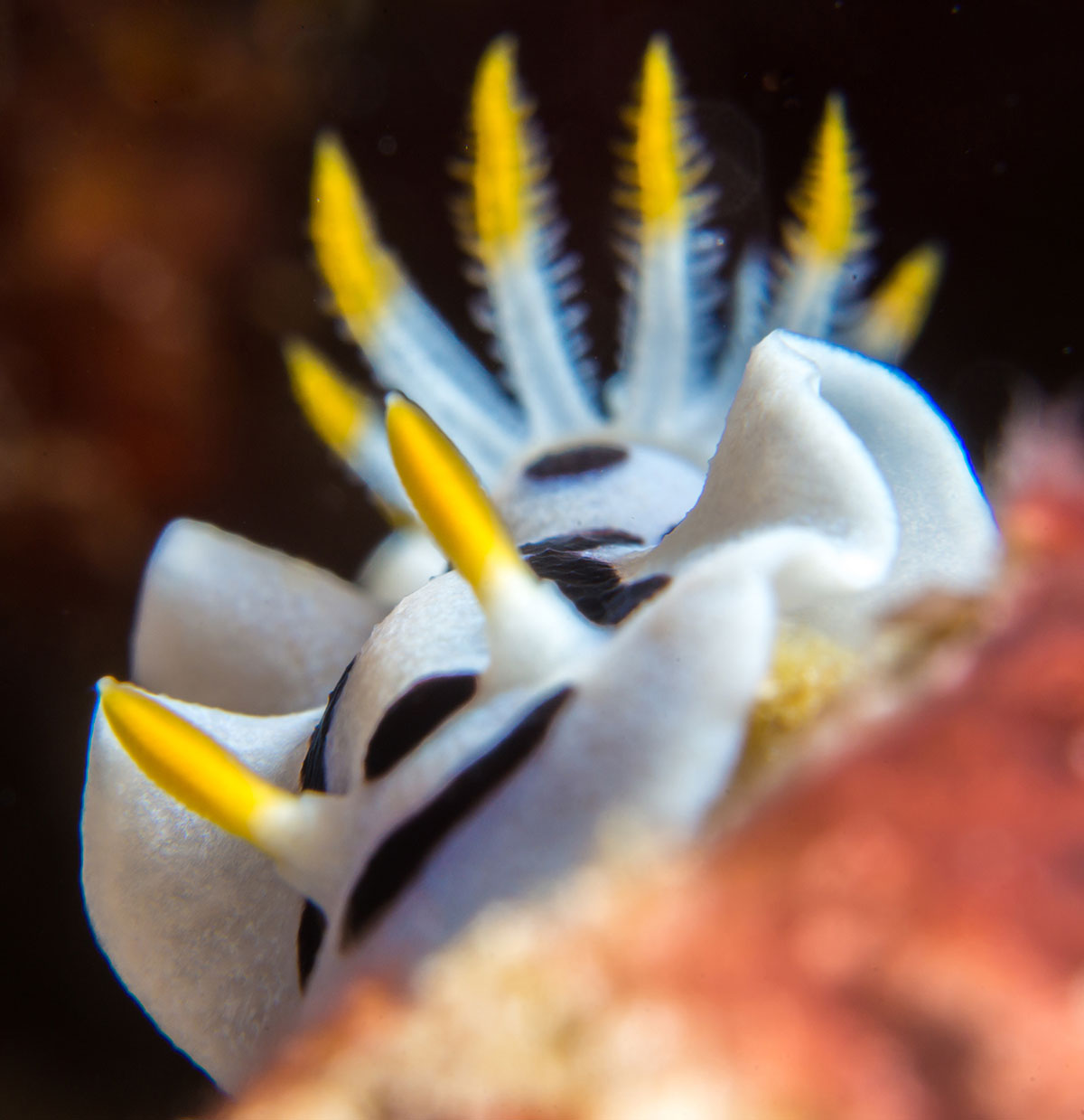 Indonesia, Manado, Bunaken Island, Diving, Nudibranch