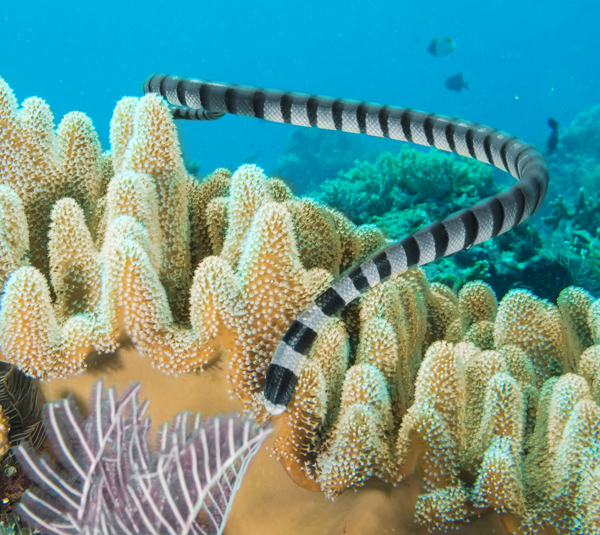Indonesia, Manado, Bunaken Island, Diving, Sea Snake