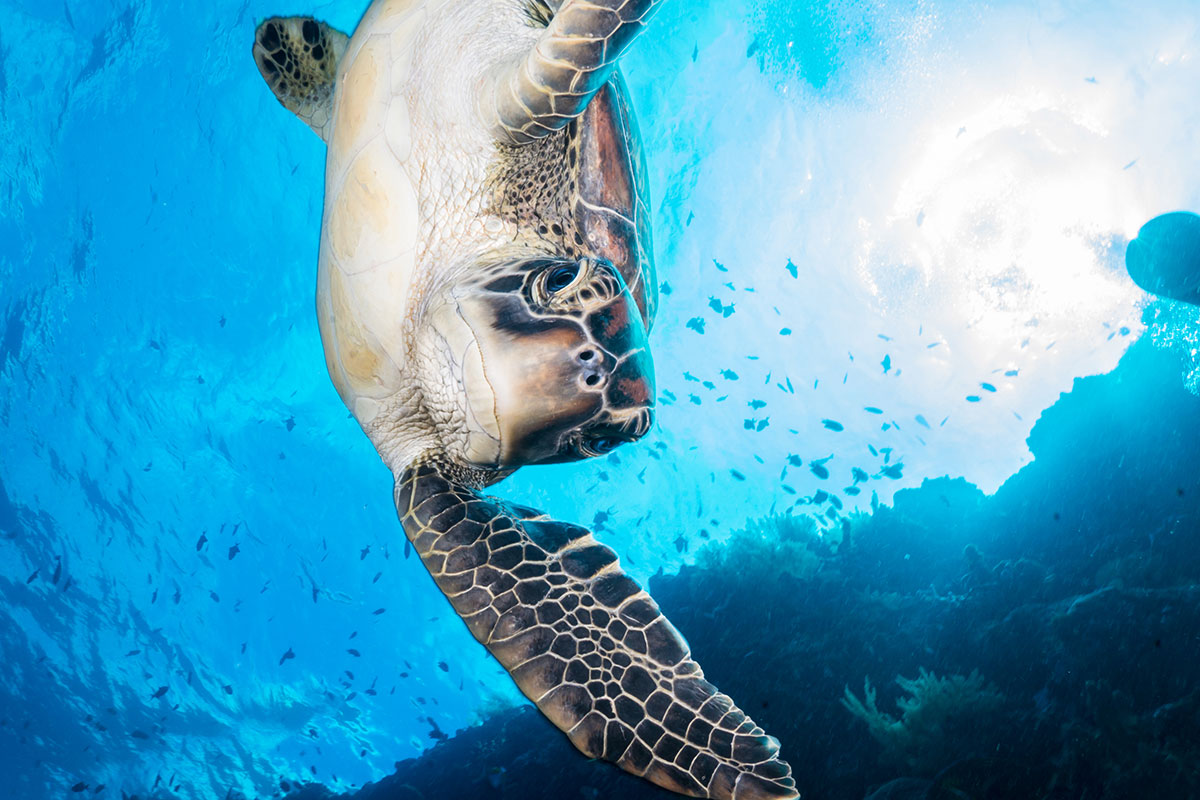 Indonesien, Manado, Bunaken Island, Tauchen, Schildkröte