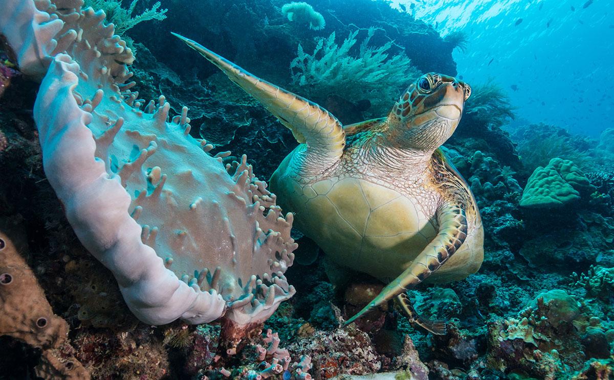 Indonesia, Manado, Bunaken Island, Diving, Turtle