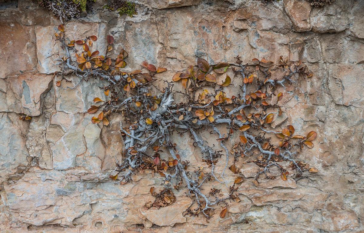 Spanien, Katalonien, Region Tarragona, Felsen von Arbolí, Kletterpflanze am Fels