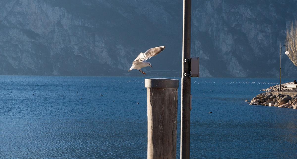 Möwe im Landeanflug am Hafen von Torbole am Gardasee