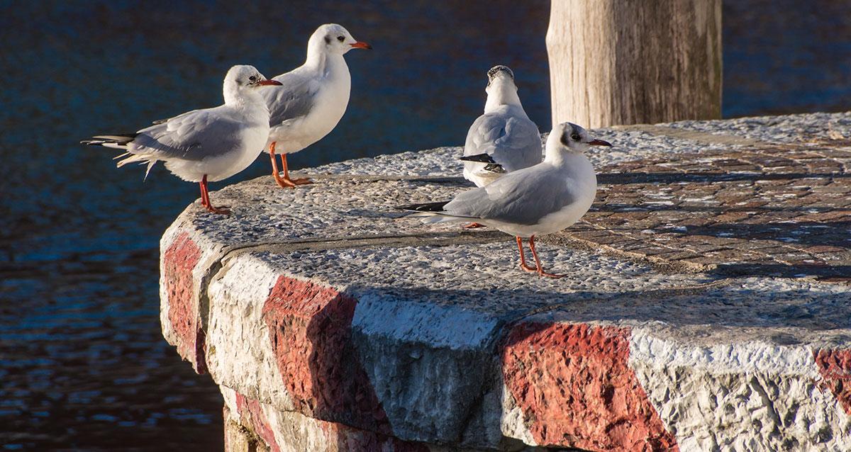 Möwen am Hafen von Torbole am Gardasee