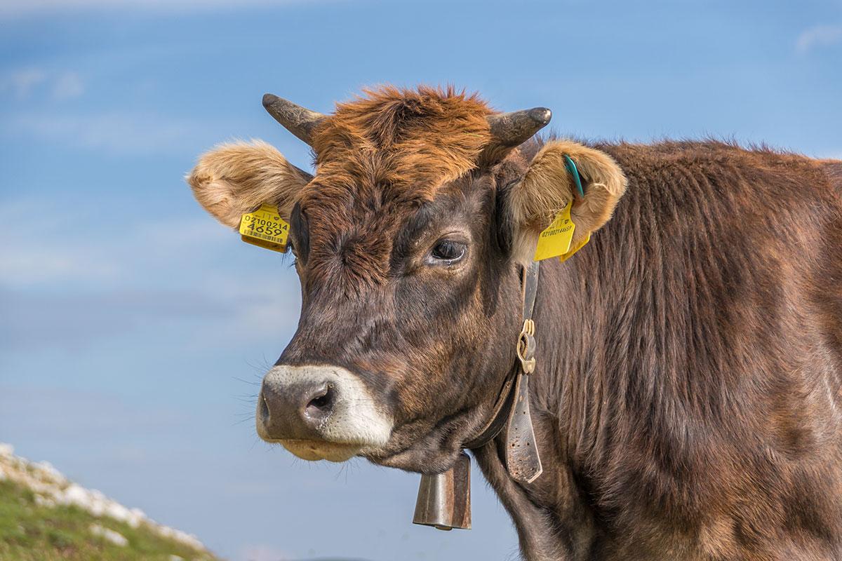 Kuh an den Drei Zinnen
