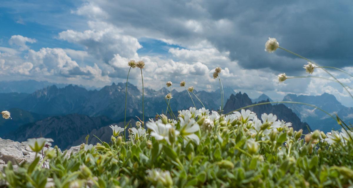 Dolomiten,Drei Zinnen, Alpenblumen