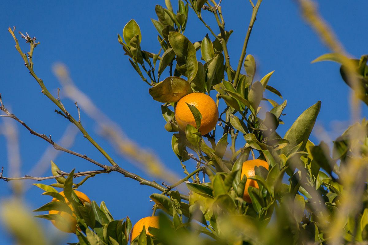 Mallorca, Orangen in Campos