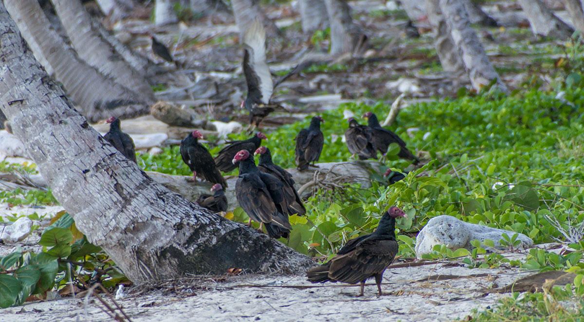 Dominikanische Republik, Geier an der Playa Fronton bei Las Galeras