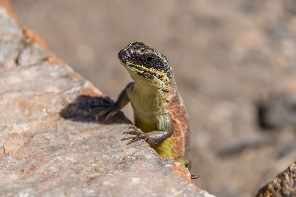 Dominikanische Republik, Lizard