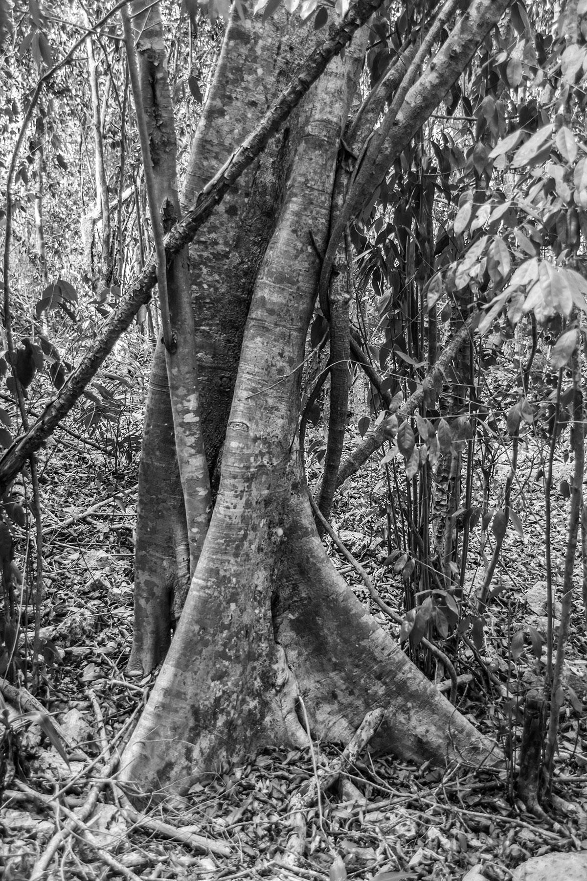 Dominikanische Republik, Baum