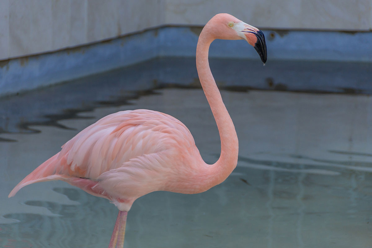 Dominikanische Republik, Flamingo