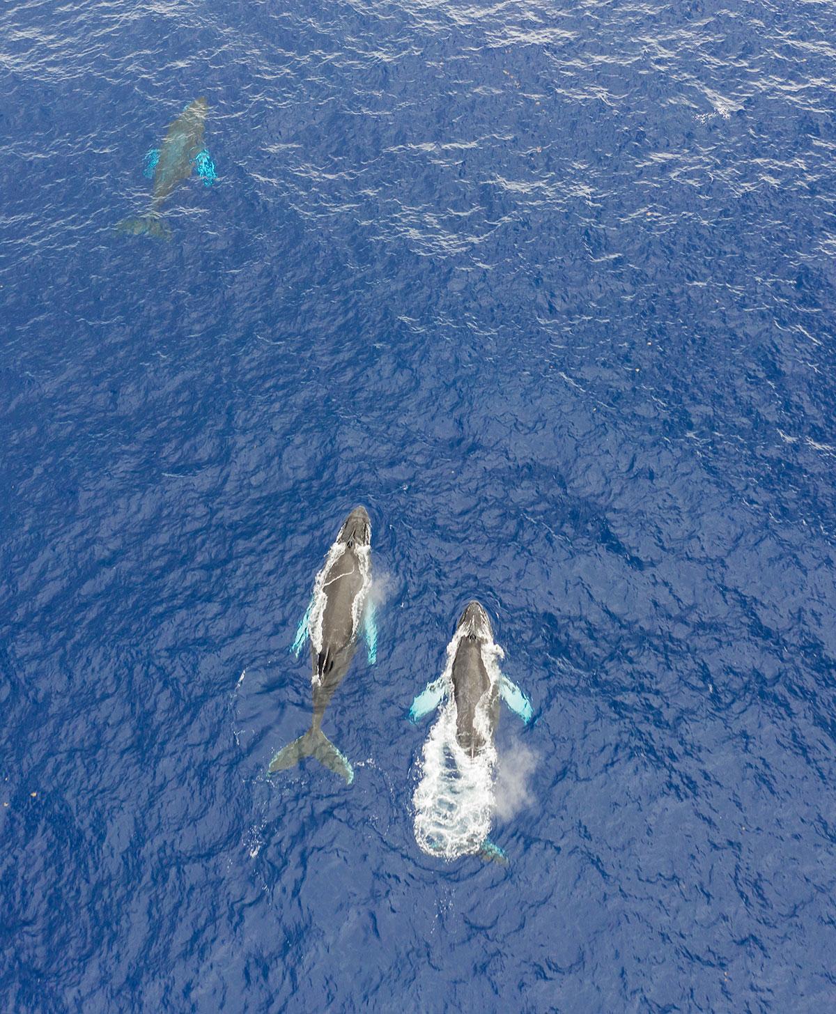 Dominikanische Republik, Buckelwale