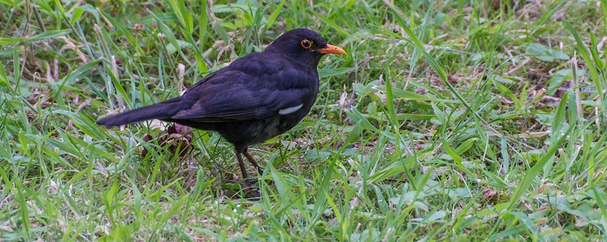 Azoren, Faial, Eurasien Blackbird