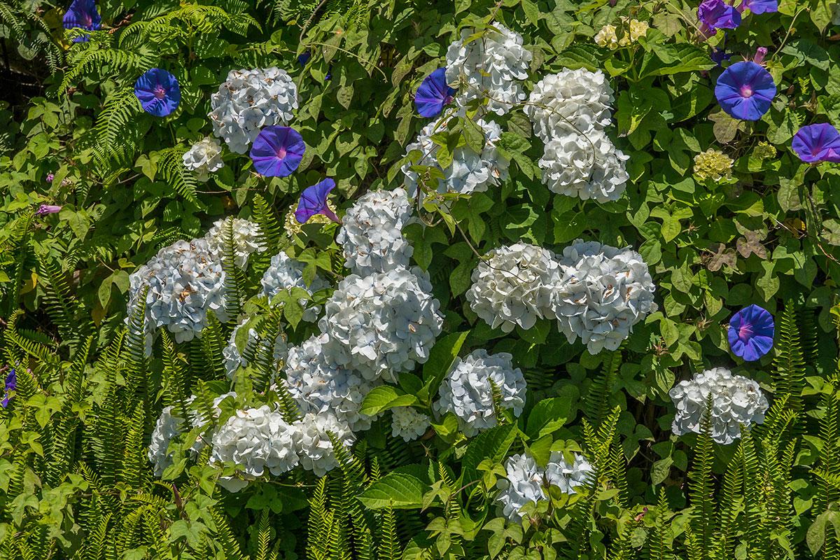 Blue Morning Glory (Windengewächs) und Hortensie