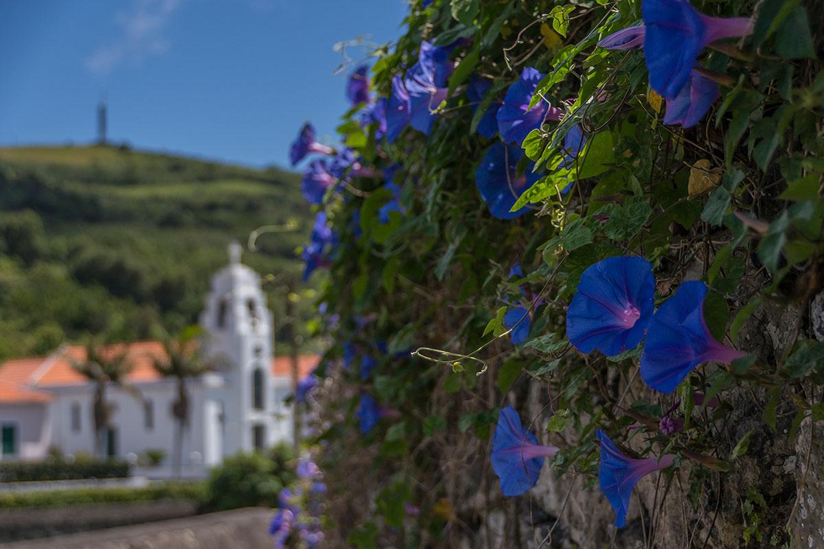 Azoren, Faial, Blue Morning Glory (Windengewächs)